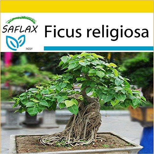 SAFLAX - Set de cultivo - Higuera sagrada - 100 semillas - Con mini-invernadero, sustrato de cultivo y 2 maceteros - Ficus religiosa