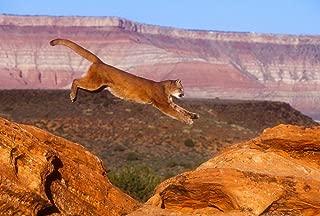 FHYGJD Cougar Mountain Lion Jump Art Print Canvas Poster,Home Wall Decor(16x24 inch)