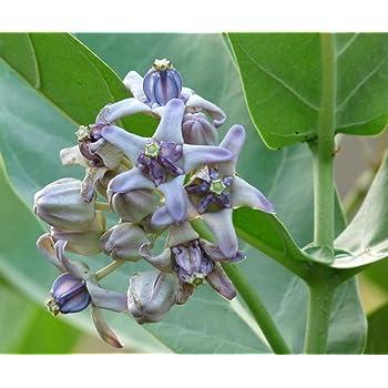 Plantsguru मंडर, रुई, आक, अर्का, टूलाफला (सफेद फूल) औषधीय पौधा: Amazon.in:  गार्डन और आउटडोर