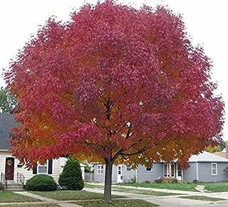 50 seeds Tree