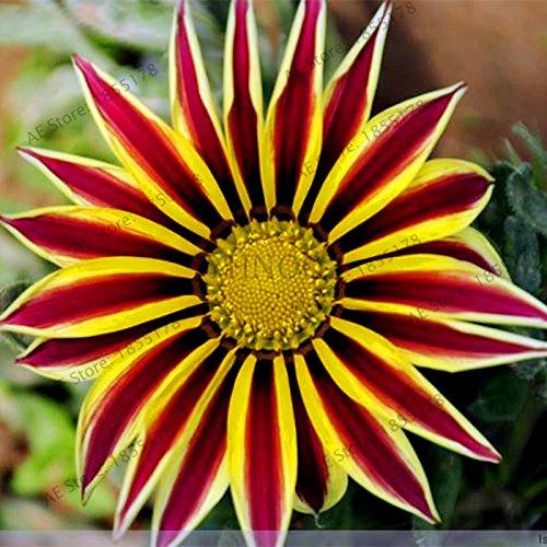 100pcs/sac Rare Fleurs graines Gazania rigens Graines Accueil Balcon Jardin Bonsai d'ornement Splendens Chrysanthème 8
