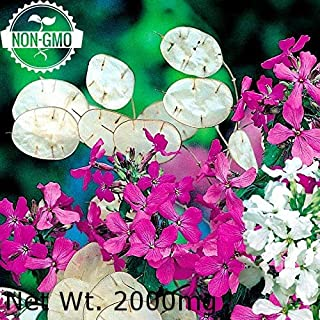 Gaea's Blessing Seeds - Honesty Seeds 100+ Non-GMO Seeds, Annual Honesty, Moonwort, Money Plant, Silver Dollar Plant, Lunaria Annua, 90% Germination Rate