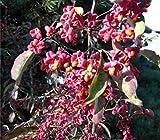 Euonymus europaeus - Pfaffenhütchen - Spindelstrauch - Spindelbaum - Pfaffenkäppchen