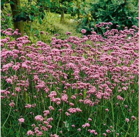 Tomasa Samenhaus- 100 Samen Eisenkraut Samen Bodendecker Ziergras winterhart mehrjährig Pflanzen Blumensamen Staudenbeet