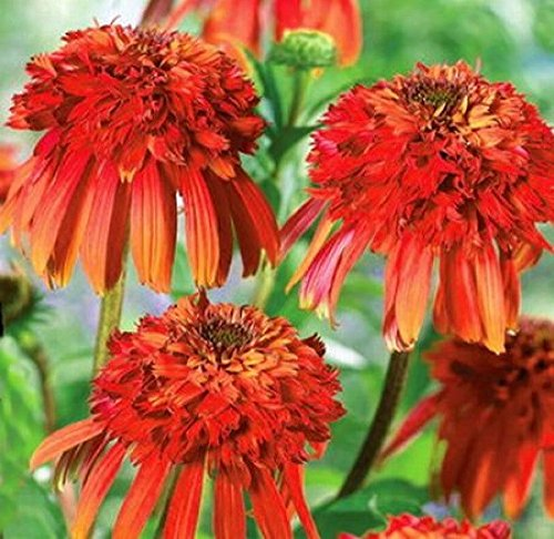 Graines de fleurs Echinacea 'Hot Papaya', 50 graines / Pack, Rare Heirloom Fire Red Coneflower