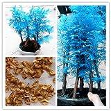 20 PC mini-bonsai semillas de Metasequoia azules. raras plantas azules naturales