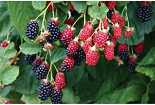 1 Apache' BlackBerry Potted Fruit Garden Thornless Potted Plant DP02
