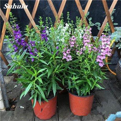 100pcs Belles aromatiques gypsophile Graines vrai étoilées fleurs en pot Gypsophila paniculata All Over The Sky Étoile Bonsai Fleur