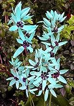 ixia viridiflora seeds