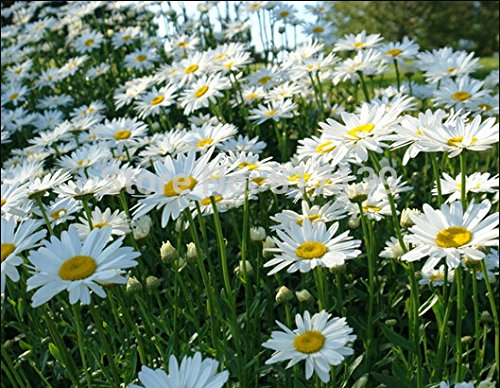 New Home Garden Plant 100 Seeds OX EYE DAISY Marguerite Chrysanthemum Leucanthemum Flower Seeds