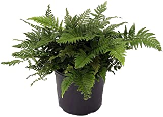 Rare Korean Rock Fern - Polystichum tsussimense - Indoors or Out - 4