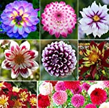 100+ Rare Mix Dahlia Pompon Flower Seeds Variabilis Beautiful Annual Outdoor