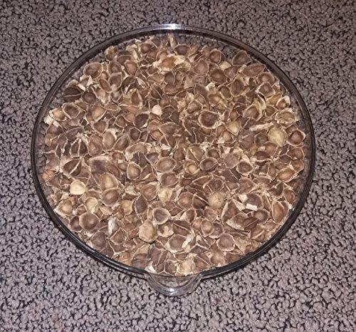 200 X Moringa Oleifera Samen Top Qualität Meerrettichbaum Superfood