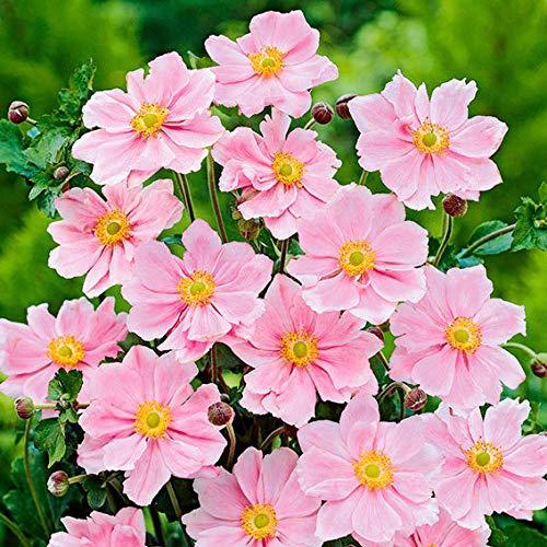 Soteer Garten - 50 Stück Herbstanemone Samen selten Blumensamen Anemone mit großen, schalenförmigen Blüten Blüht bis zum Frost mehrjährig für Garten Balkon/Terrasse