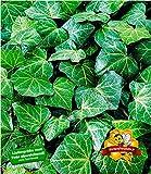 BALDUR Garten Winterharte Efeu Pflanze 'Baltica', 3 Pflanzen Bodendecker und Kletterpflanze -