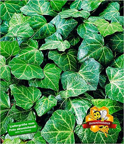 BALDUR Garten Winterharte Efeu Pflanze 'Baltica', 3 Pflanzen Bodendecker und Kletterpflanze
