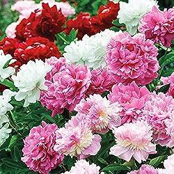 rosa, rote, weiße Pfingstrosen in voller Blüte