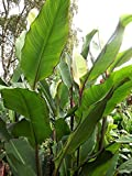 6 Tall Canna Rhizomes / Bulbs / Roots - Musifolia - Order for Spring Planting!
