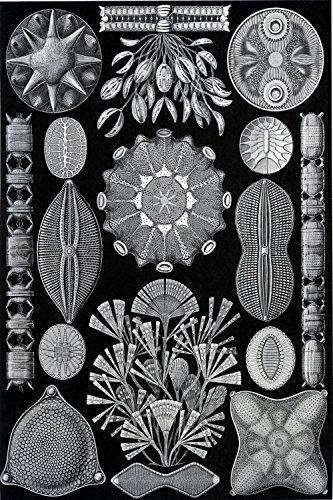 Ernst Haeckel's Diatoms Plate 84 (Diatomacea) - Biological Illustration Poster Reproduction (18' x 24')