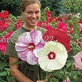 100 semi PCS gigante di fiori di ibisco cinese fiore a buon mercato Hibiscus semi miglior regalo per i vostri bambini crescono facile per il giardino di casa