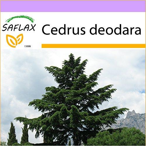 SAFLAX - Cedro del Himalaya - 35 semillas - Cedrus deodara