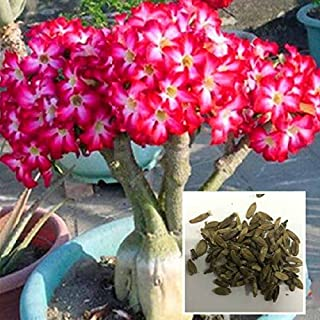 Desert Rose Seeds, 50 Unids/bolsa Bonsai Adenium Obesum Seeds Desert Rose Perenne Flower Supply Diy Red