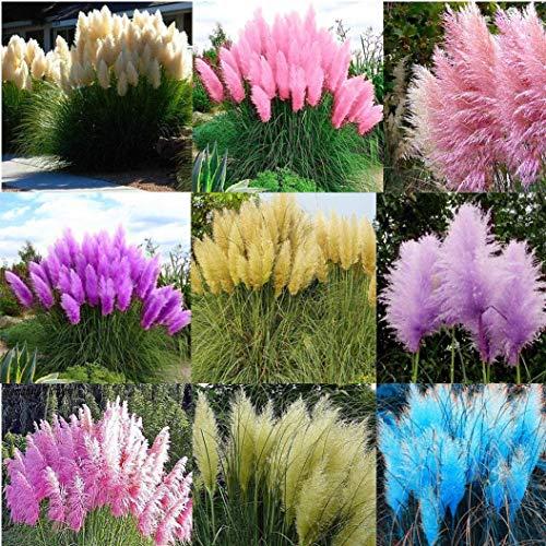 Cioler Amerikanisches Pampasgras Samen Seltene Pampasgras Blumensamen Ziergras Zierpflanzen Saatgut Gartenpflanze