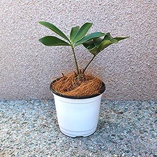 メキシコソテツ(ザミア・プミラ)12cmポット仕立て【品種で選べる観葉植物・リビングやオフィス向きサイズ/1個売り】学名:Zamia pumila/別名:ザミア・プミラ、ヒロハザミア/ザミア科ザミア属/原産地:メキシコ●1鉢置くだけで南国の雰囲気を演出してくれます。ザミアの幹(塊根)は地中で伸びるため、表に出ているのはタケノコ状の部分だけです。盆栽仕立てにされることもあり、太く引き締まった幹はコーデックスのような雰囲気を醸し出してくれます。【造花ではありません。生きている観葉植物です。※商品の特性上、背丈・形・大きさ等、植物には個体差がありますが、同規格のものを送らせて頂いております。また、植物ですので多少の枯れ込みやキズ等がある場合もございます。予めご了承下さい】