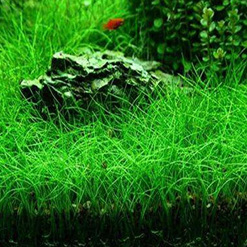 Rosepoem Pianta semi Acqua Glossostigma Hemianthus callitrichoides acquatica Erba dell'acqua Acquario Decor primo piano