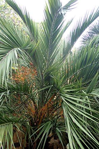 Phoenix loureiroi VAR. humilis Montagne palmier dattier froid Hardy - 5 graines
