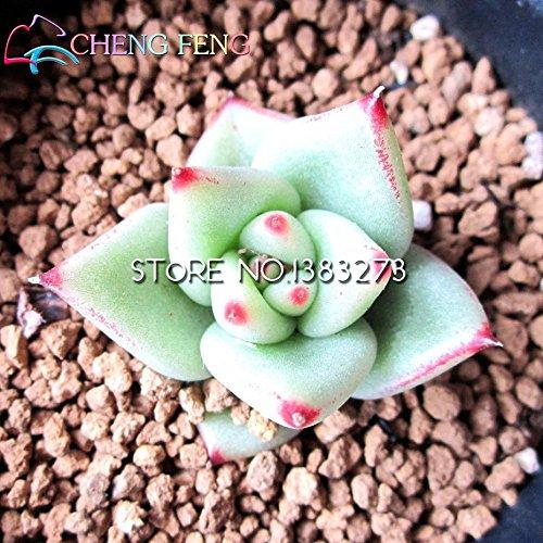 Galanthus Nivalis Graines 100PCS communs Graines Snowdrop Fleur Belle Jardin Plantes Congélation Bonsai Balcon Flowe