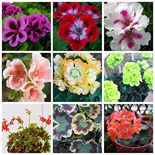 Gemischt: 2016 Neuheiten Balkon Topf Geranien Mehrjährige Blumen Garten Samen Pelargonie Topfpflanzen Diy 50 Teile/beutel