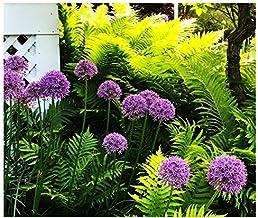 Allium Purple Sensation - 3 Large Bulbs
