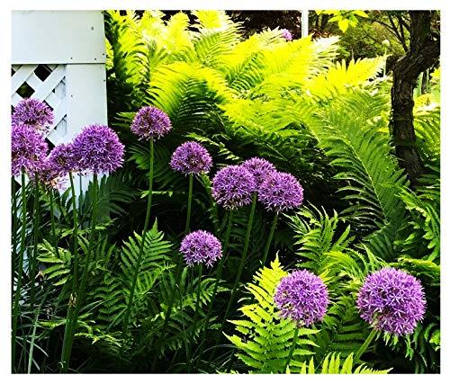 3 Purple Sensation Bulbs - Allium Aflatunense
