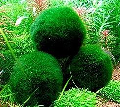 4 Marimo Moss Balls - Live Aquarium Plant Decor for Fish Tanks, ~2 Inches - Large Cladophora, 8 - 15 Years Old, Minimal Care Needed