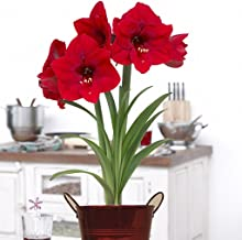 Van Zyverden Amaryllis Kit Red Lion With Artisan Decorative Planter