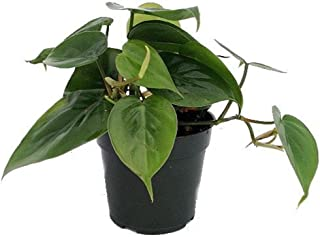 brazilian heartleaf philodendron