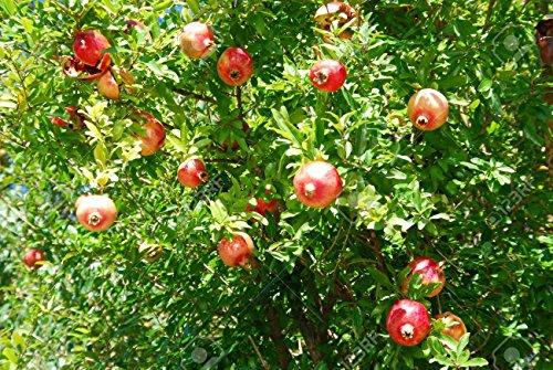 30pcs délicieux non-OGM Bonsai grenade Graines d'arbres Inrdoor graines de fruits bio Super Sweet Fruit plante pour jardin