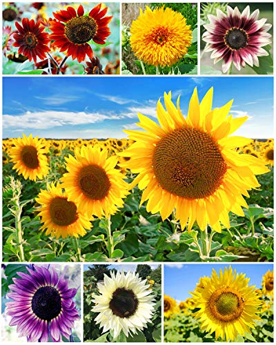 Mixture Sunflower Seeds for Planting Outdoors (Helianthus annuus) Home Garden Decor