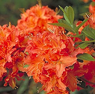 Mandarin Lights Deciduous Exbury Azalea - Very Hardy - 4
