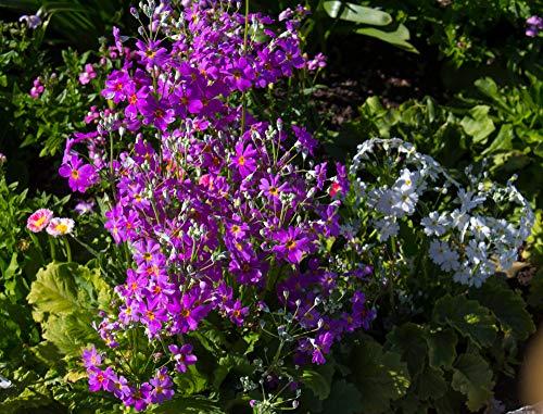 Sumpfprimel dunkelrosa, Rosen Primel 50 Samen, Primula Rosea