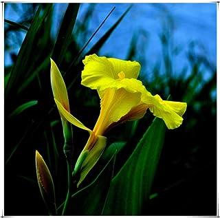 Bulbos primaverales Begonia dorada Mix colores paquete de 3 bulbos Bulbs