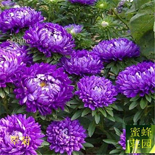 semences Aster graines de fleurs de vanille Variété de la cire turquoise Jiangxi graines chrysanthème environ 100 graines 5