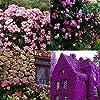 Cioler Seme di fiore- 100pcs Piante rampicanti del profumo Semi variopinti del fiore di Cress della roccia fiori ornamentali per Muro, casa, balcone, lungo la strada, giardino #5