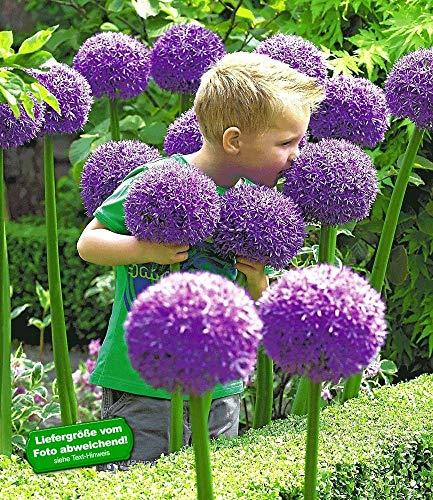BALDUR-Garten Zierlauch Allium 'Globemaster', 3 Zwiebeln