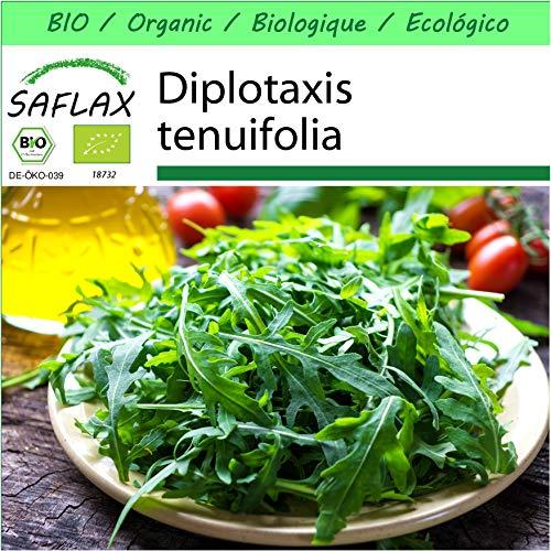 SAFLAX - Jardin dans la boîte - BIO - Roquette sauvage - 1500 graines - Avec pot en argile, support, substrat de culture et engrais - Diplotaxis tenuifolia