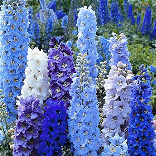 XINDUO Steingarten & Staudenbeet,Garten Delphinium Blumensamen-lila_0,5 kg im Freien,mehrjährig winterhart Samen