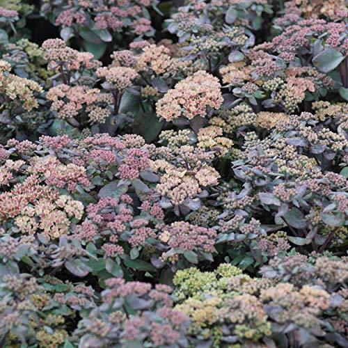 Blumixx Stauden Sedum Hybride 'Karfunkelstein' - Fetthenne im 0,5 Liter Topf rosa blühend
