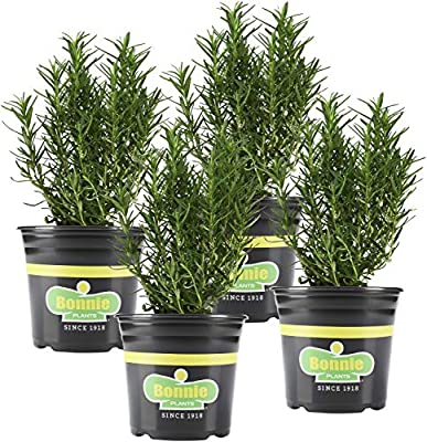 Bonnie Plants 4P5090 Rosemary Live Edible Aromatic Herb Plant-4 Pack, Perennial in Zones 8 to 10, for Cooking & Grilling, Italian & Mediterranean Dishes, Vinegars & Oils, Breads