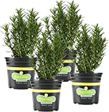 growing rosemary in containers